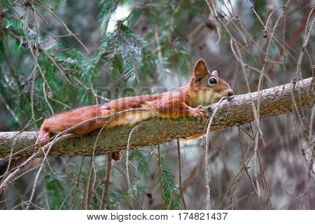 funny red squirrel hunting. Squirrel sits on a tree