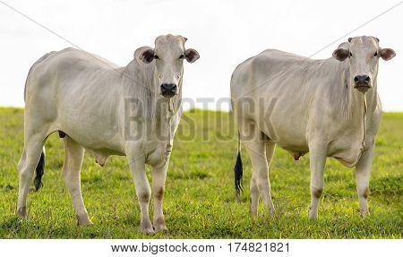 Oxen On Farm Pasture