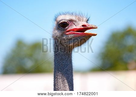 Common ostrich with a pink beak against a blue sky.