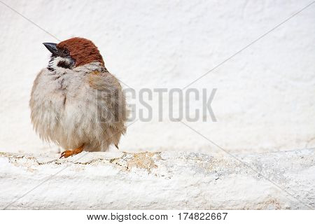 sparrow (Passer montanus) is a passerine bird in the sparrow family with a rich chestnut crown and nape