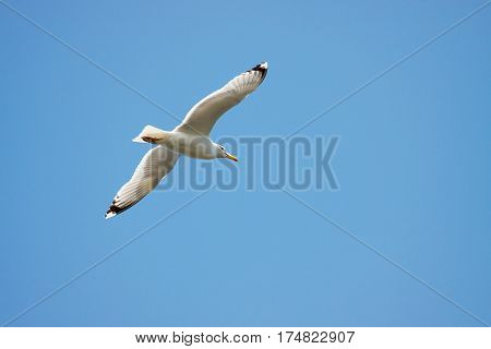 seagull on the sky. Flying Seagull on sky background.