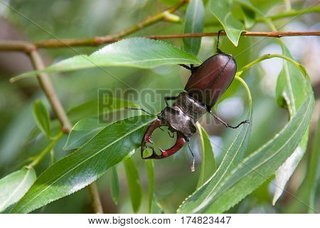 stag beetle Lucanus cervus on oak on the branches of a willow
