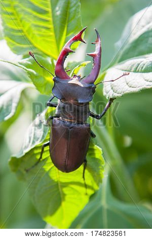 Stag Beetle. stag beetle Lucanus cervus on oak on the branches of a willow