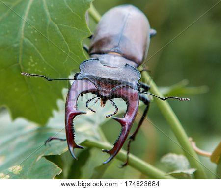 Male stag beetle Lucanus cervus closeup on nature background