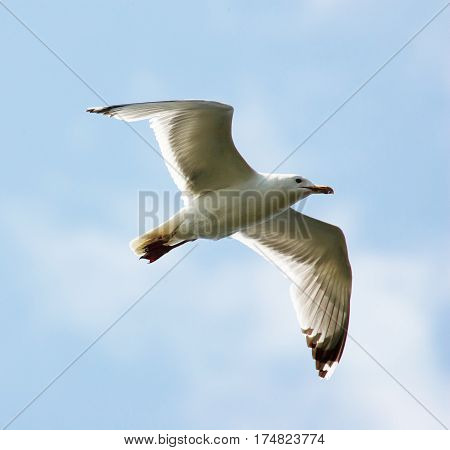 Flying Seagull on sky background. Seagull flying on sky.
