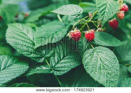 Red ripe raspberries on a bush. Closeup of fresh organic berries with green leaves on raspberry cane. Summer garden in village. Harvest at farm