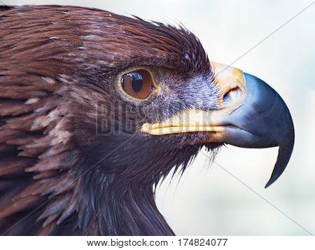 golden eagle closeup portrait. Wildlife bird and animal