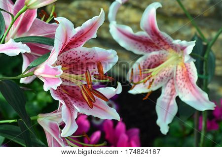 Oriental lily growing in the greenhouse garden