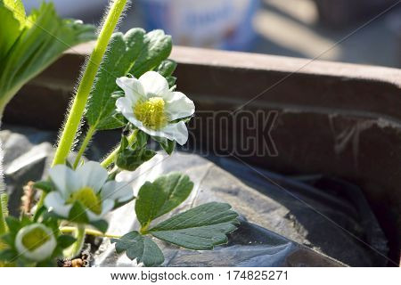 Strawberry plant with flower in the spring time