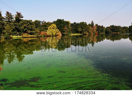 An european pond covered a lot of cyanobacteriagreen biofilm grows on the water