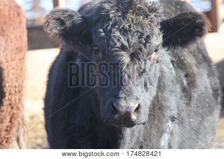 Head, face, shoulder area of a cow in a holding/transfer pen waiting to be shipped out.