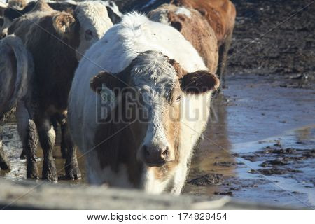 Cows in holding/transfer pen waiting to be shipped out, standing in a wet muddy area