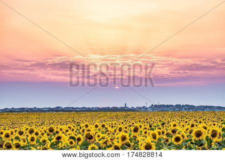 Sunset over a rural plain with blossoming field of sunflowers. Sun rays over the low clouds. Evening rural landscape with beautiful natural light.