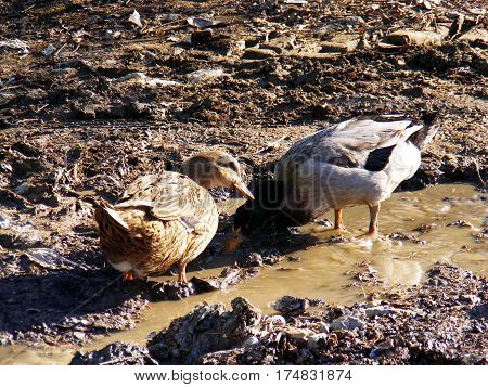 White village ducks, floating ducks, naturally fed village ducks, domestic duck pictures,