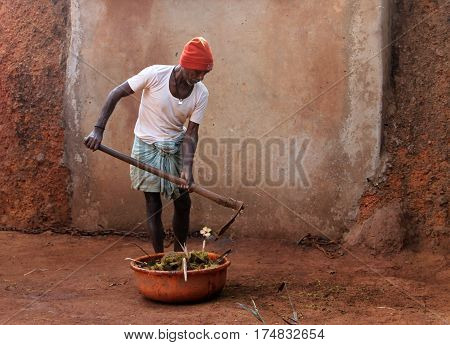 Goa, India - Feb 12, 2014: Indian Farmer Collecting Cow Dung. In India, Cow Dung Is Used Not Only In
