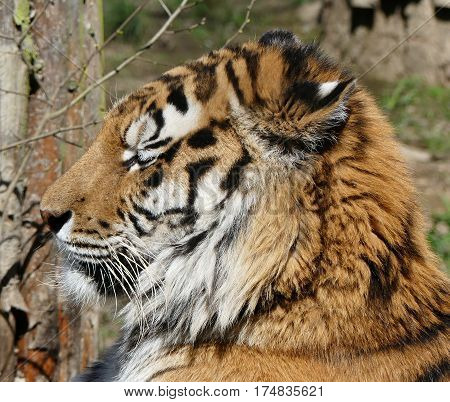 tiger with closed eyes basking in sunshine