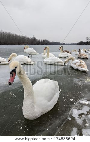 Mute swans, Cygnus olor, on frozen river Tisa near Becej in cloudy winter day. Icebound swans