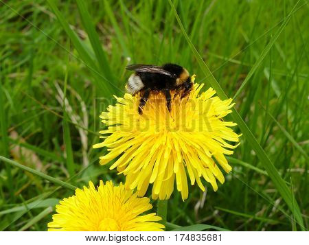 bumblebee and dandelion flower  in summer day
