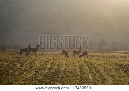 troop of roe deer in the morning
