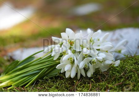 Bunch of Snowdrops in nature. Spring time.