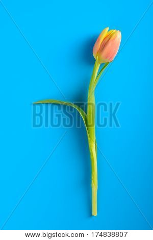 Pink Tulip On A Blue Background
