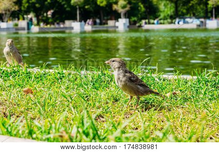 The little gray bird sparrow in the pond in the park