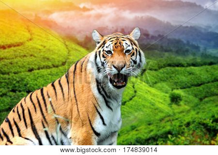 Tiger On The Background Of Tea Plantations