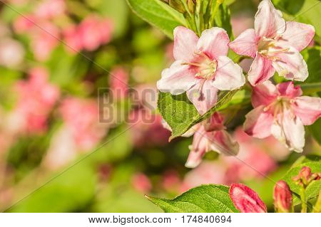 Weigel pink flowers at sunset in the garden on a spring day macro. Selective focus