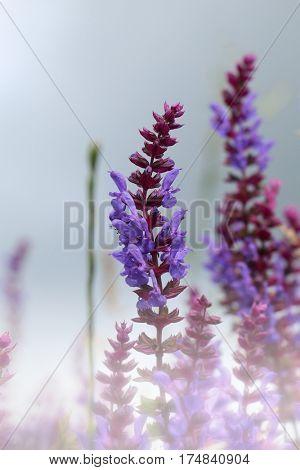 Lavender bushes closeup on sunset. Lavender field closeup