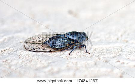 large cicada sitting on a stone wall closeup