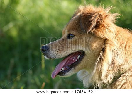 Pretty mongrel red dog on green background