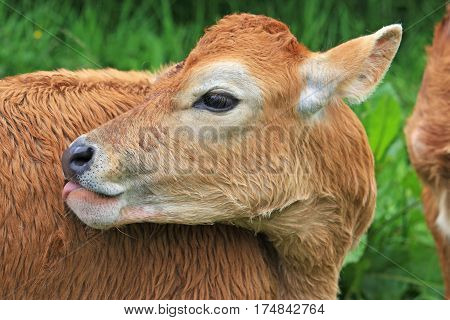 Calf grooming its fur in a field