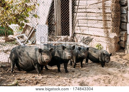 Household A Large Black Pigs In Farm. Pig Farming Is Raising And Breeding Of Domestic Pigs. It Is A Branch Of Animal Husbandry. Pigs Are Raised Principally As Food , pork, Bacon, Gammon.