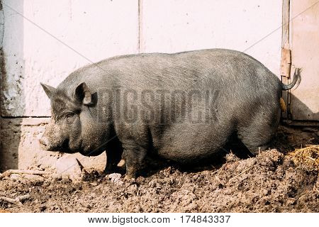 Household A Large Black Pig In Farm. Pig Farming Is Raising And Breeding Of Domestic Pigs. It Is A Branch Of Animal Husbandry. Pigs Are Raised Principally As Food , pork, Bacon, Gammon.