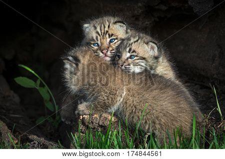 Bobcat Kittens (Lynx rufus) Piled Up in Log - captive animals