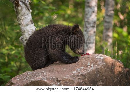 Black Bear (Ursus americanus) Cub SIts on Rock Eating Berries - captive animal