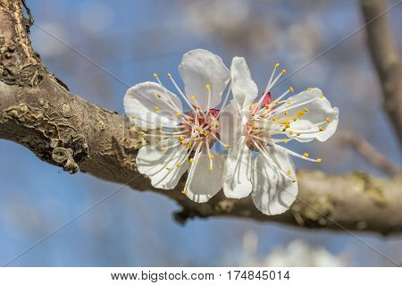 Spring apricot flower in the spring garden on blue sky background macro. Selective focus