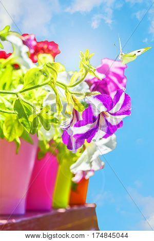 Bright summer flowers in colorful flowerpots and butterfly backlit on a background of blue sky on a sunny day close up. Selective focus
