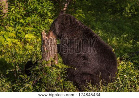 Adult Female Black Bear (Ursus americanus) Nose in Stump - captive animal