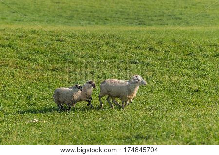 Group of Sheep (Ovis aries) Run Right - at herding trials