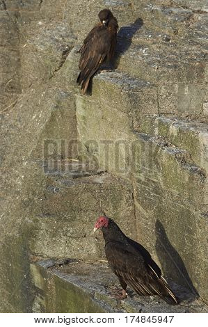Striated Caracara (Phalcoboenus australis) and a Turkey Vulture (Cathartes aura jota) share the cliffs on Bleaker Island in the Falkland Islands.