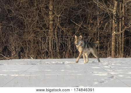 Grey Wolf (Canis lupus) Trots Left in Early Morning Light - captive animal