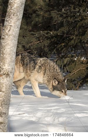 Grey Wolf (Canis lupus) Noses Up Snow - captive animal