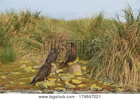 Group of Striated Caracara (Phalcoboenus australis) standing on the cliffs on Bleaker Island in the Falkland Islands.