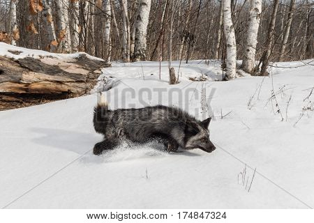 Silver Fox (Vulpes vulpes) Runs Right Through Snow - captive animal