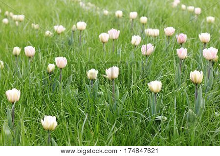 gentle blossoming tulips in green grass on the lawn / spring floral landscape