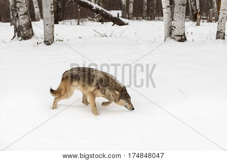Grey Wolf (Canis lupus) Stalks Right Past Trees - captive animal