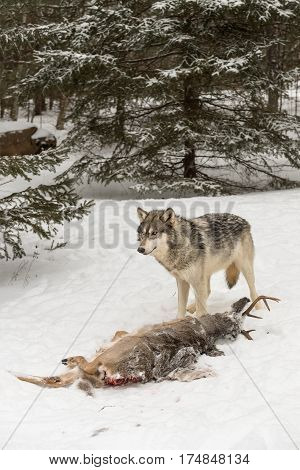 Grey Wolf (Canis lupus) Stands Over Deer Carcass - captive animal