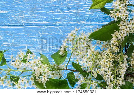 Flowering bird cherry branch on a blue wooden background with space for text. Can be used as floral backgrounds holiday greetings and invitations cards