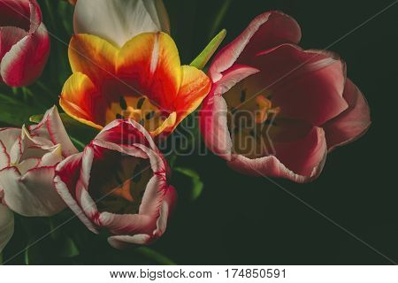 Beautiful spring tulips. Soft focused and colored flower background. Macro shot.